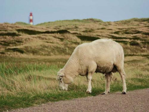 Ferienhaus Lissy-Mary auf Sylt - Impressionen Schaf